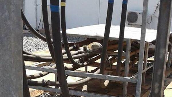 Monkey Behind Nationwide Blackout in Kenya - Sputnik International