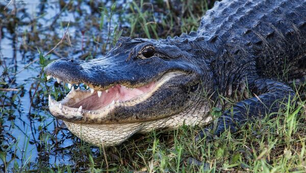 8-Foot Alligator Found in Florida With Man's Body in Its Mouth - Sputnik International