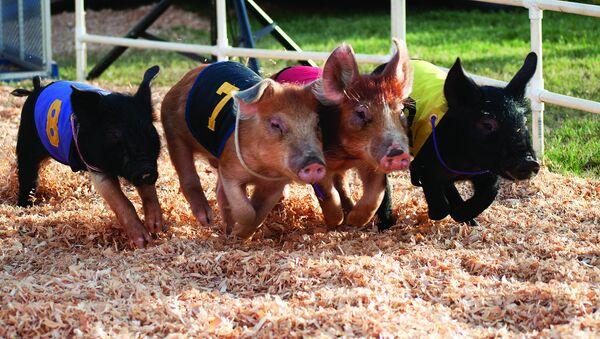 Miniature pigs racing. - Sputnik International