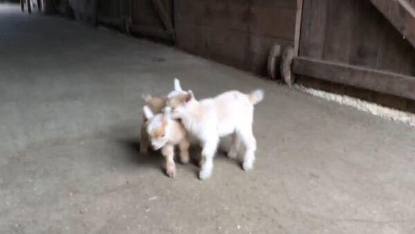 Goat Kids Torment Their Chicken Babysitter - Sputnik International