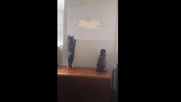 Cat Attacks Birds Projected on Wall - Sputnik International