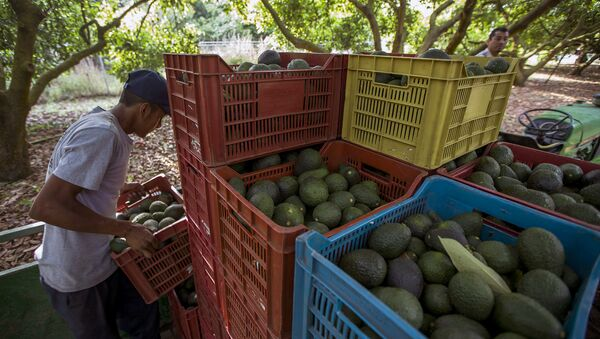 Men work during the harvest of avocado at an orchard in Uruapan municipality, Michoacan State, Mexico on April 6, 2016 - Sputnik International