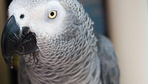 African Grey Parrot - Sputnik International