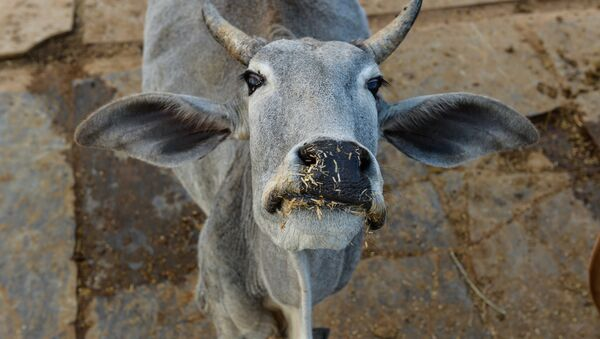 In this photograph taken on November 5, 2015, a cow looks on at a cow shelter owned by Babulal Jangir, a rustic self-styled leader of cow raiders, and Gau Raksha Dal (Cow Protection Squad) in Taranagar in the desert state of Rajasthan - Sputnik International