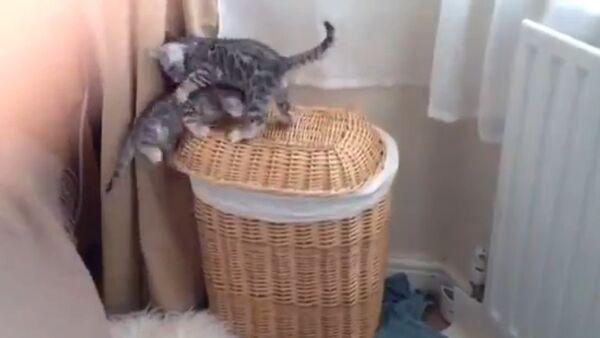 Bengal Kitten Buddies Play - Sputnik International