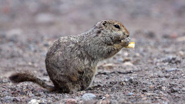 Kamchatka Arctic ground squirrel - Sputnik International