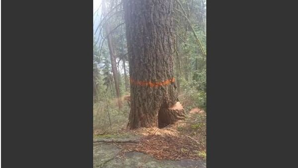 Lumberjack Runs Away as Tree Splits during Cut - Sputnik International