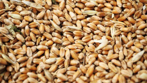 Wheat grain crops - Sputnik International