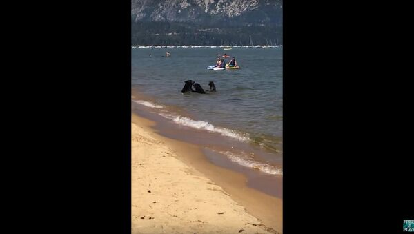 Bears Come Down to Beach to Swim Amongst Humans in Lake Tahoe - Sputnik International