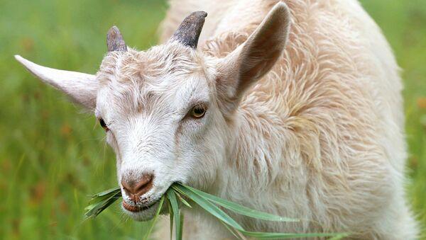 Goat - Sputnik International