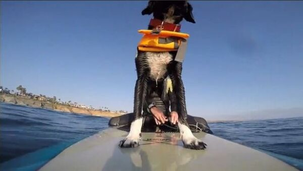 Puppy Goes Surfing for the First Time - Sputnik International