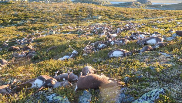 Dead wild reindeer are seen on Hardangervidda in Norway, after lightning struck the central mountain plateau and killed more than 300 of them, in this handout photo received on August 28, 2016 - Sputnik International