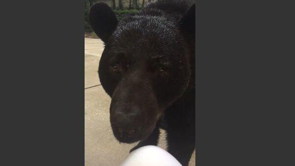 Face-to-Face With Monster Black Bear - Sputnik International