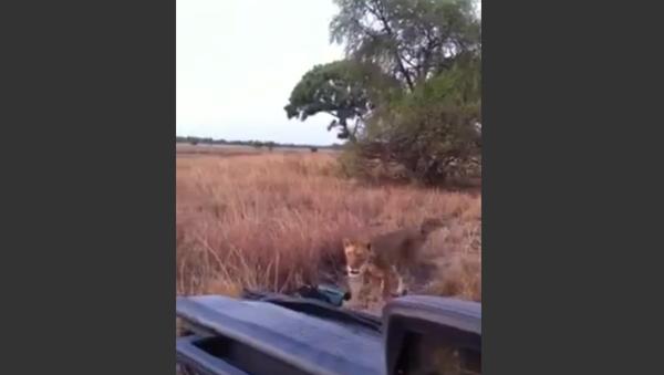 Lion Pays Tourists a Visit in National Park - Sputnik International