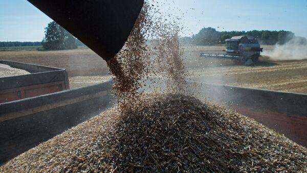 Wheat harvest in Omsk Region - Sputnik International