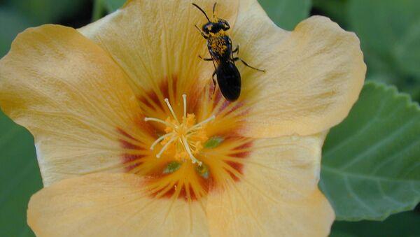 Bees From Hawaii on US Endangered Wildlife List - Sputnik International