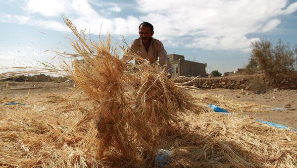 A Yemeni farmer gathers threshed wheat stalks during the harvest season at a village on the outskirts in the capital Sanaa on November 18, 2014 - Sputnik International