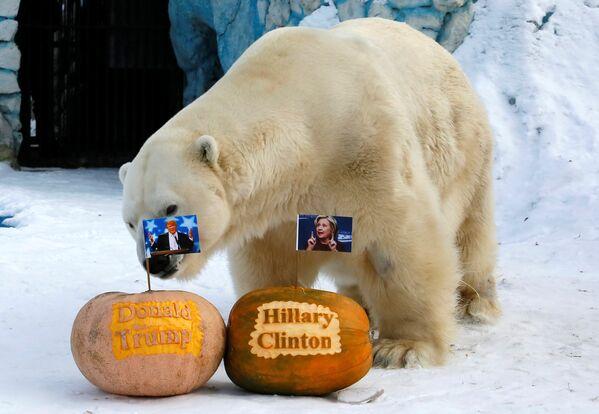 Felix, a male polar bear, stands near pumpkins with portraits of U.S. presidential nominees Hillary Clinton and Donald Trump as it predicts the result of U.S. presidential election at the Royev Ruchey zoo in Krasnoyarsk, Siberia, Russia, November 7, 2016 - Sputnik International