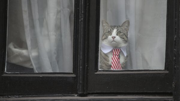 A cat named 'James' wearing a collar and tie looks out of the window of the Ecuadorian Embassy in London on November 14, 2016 where WikiLeaks founder Julian Assange was being questioned over a rape allegation against him. - Sputnik International