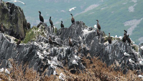 Cormorants and kittiwakes on an offshore rock. - Sputnik International