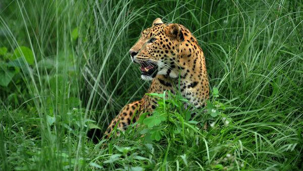 A leopard sits at the rehabilitation centre of the Jaldapara Wild Life Sanctuary, some 165 kms from Siliguri on July 4, 2009 - Sputnik International
