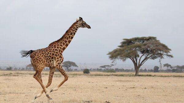 A giraffe runs in Amboseli National park, Kenya August 26, 2016. - Sputnik International