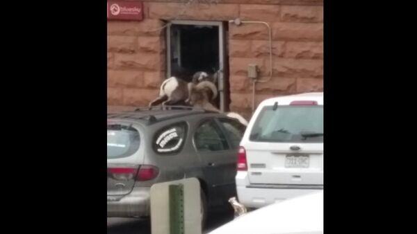 Bighorn sheep breaks glass door - Sputnik International
