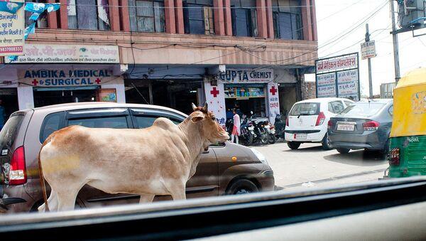 Cow. India - Sputnik International