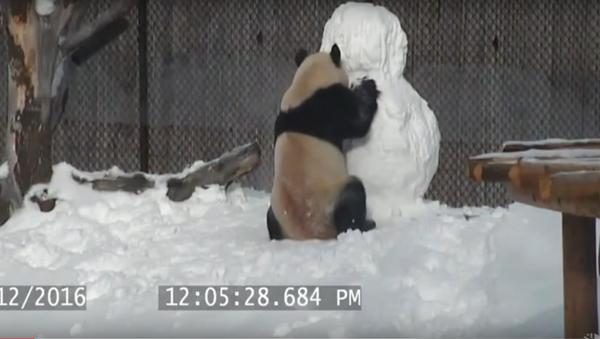 Panda Joins Wintery Fun - Sputnik International