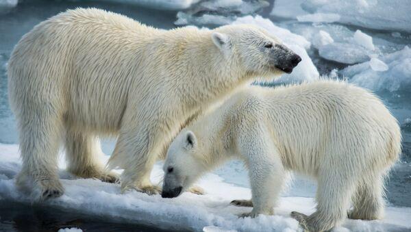 Polar bears - Sputnik International