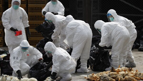 Health workers in full protective gear pick up killed chickens in plastic bags after suffocated them by using carbon dioxide at a wholesale poultry market in Hong Kong (File) - Sputnik International
