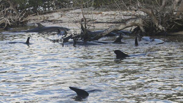 False Killer Whales Stranded in South Florida - Sputnik International
