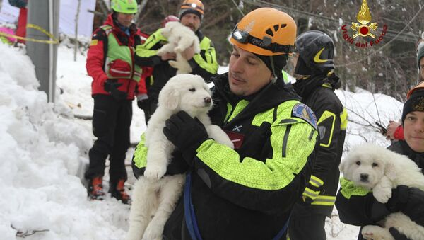 Firefighters hold three puppies that were found alive in the rubble of the avalanche-hit Hotel Rigopiano, near Farindola, central Italy, Monday, Jan. 22, 2017. Emergency crews digging into an avalanche-slammed hotel were cheered Monday by the discovery of three puppies who had survived for days under tons of snow, giving them new hope for the 23 people still missing in the disaster. - Sputnik International