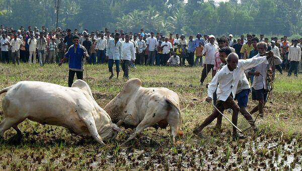 Spectators watching as two bulls lock horns during a bull fight in Benolim, south Goa. (File) - Sputnik International