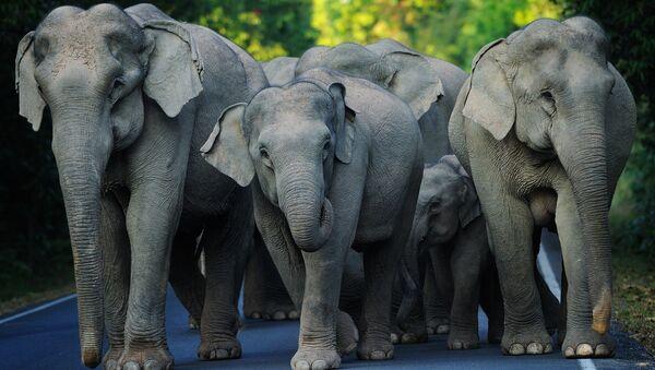 Asian Elephants. (File) - Sputnik International