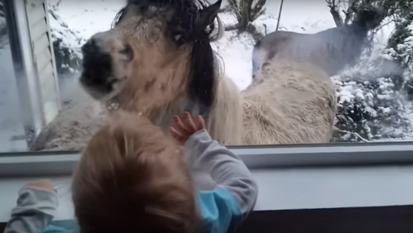 Hey Tiny Human! Mini Horses Meet Toddler - Sputnik International
