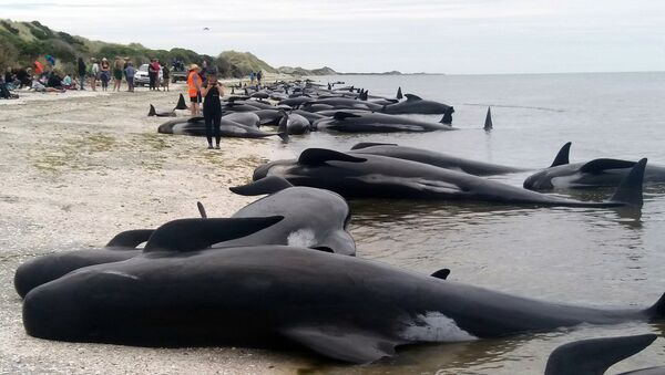 Whales are stranded at Farewell Spit near Nelson, New Zealand Friday, Feb. 10, 2017. - Sputnik International