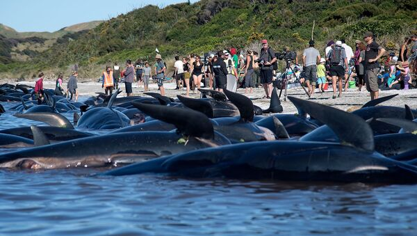 Dead Pilot whales sit on the high tide line during a mass stranding at Farewell Spit on February 11, 2017. - Sputnik International