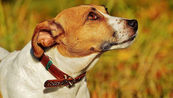 Jack Russell Terrier - Sputnik International