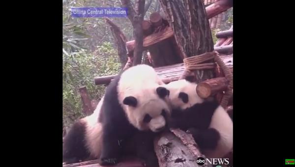 Momma Panda Get Loved On by Daughter - Sputnik International