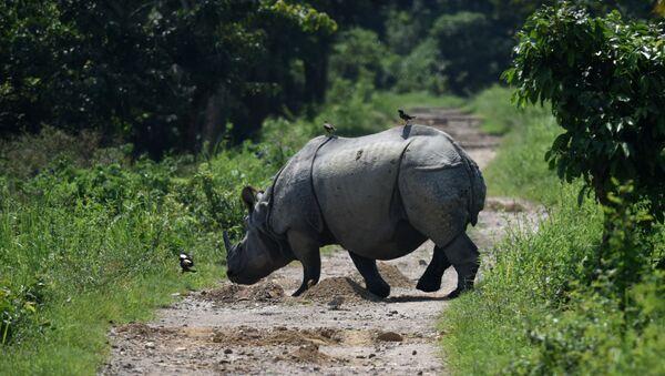 Indian one-horned rhino crosses a path in Kaziranga National Park, some 250kms east of Guwahati (File) - Sputnik International