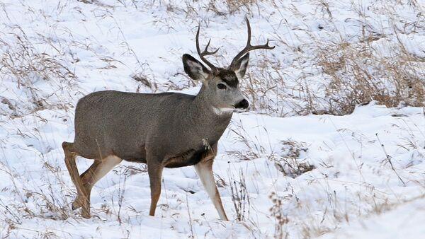 Deer - Sputnik International
