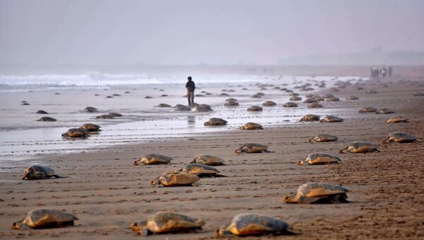 Olive Ridley Turtles (Lepidochelys olivacea) return to the sea after laying their eggs in the sand at Rushikulya Beach, some 140 kilometres (88 miles) south-west of Bhubaneswar, early February 16, 2017. - Sputnik International