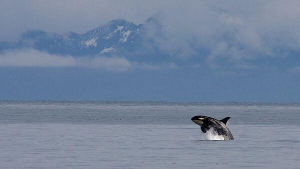 Orca in Kenai Fjords National Park - Sputnik International