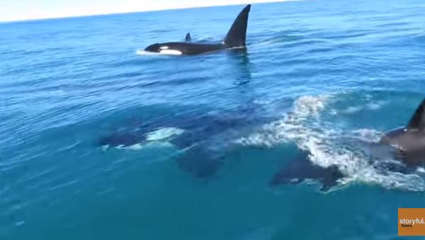 Jet Skiers Ride Waves with Orcas - Sputnik International