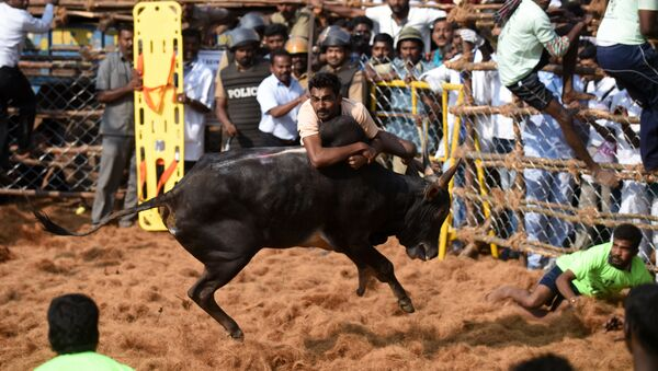 An Indian bull charges through a crowd of bullfighters during the annual Jallikattu bull-taming event in the village of Palamedu on the outskirts of Madurai on 9 February, 2017 - Sputnik International