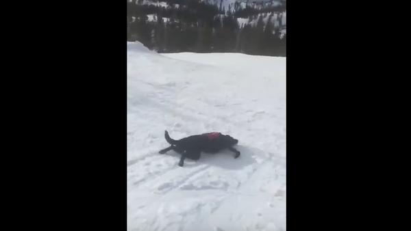 Rescue Pup Slides Down Lake Tahoe Mountain - Sputnik International
