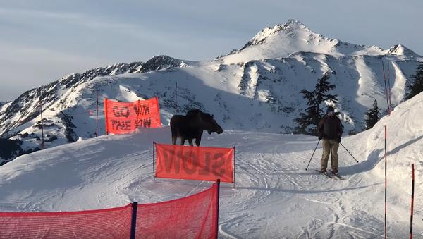 Rogue Moose Charges Alaska Chairlift Line - Sputnik International