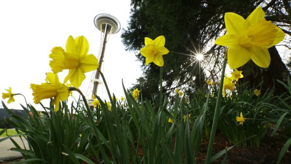 Daffodils bloom near the Space Needle on a rare sunny and rain-free first day of spring in Seattle, Monday, March 20, 2017. - Sputnik International