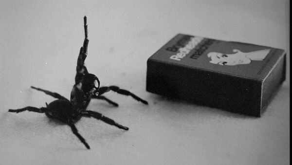 Australia's deadliest spider, the male Funnel Web in this undated filer is compared in size to a matchbox. - Sputnik International